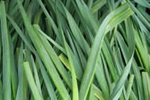 Leaves-of-Garlic