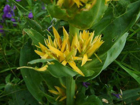 Gentian-Flower