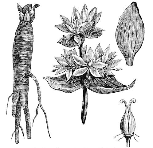 Gentian-plant-sketch
