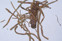 Dried-root-of-Gentian-plant