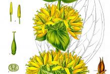 Gentian-Plant-Illustration