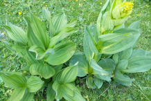 Leaves-of-Gentian-plant