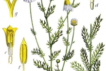 Illustration-of-German-Chamomile