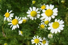 German-Chamomile-flowers