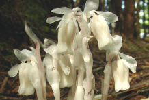 Closer-view-of Ghost Pipe-plant