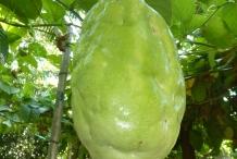 Giant-granadilla-fruit