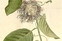 Giant-granadilla-plant-illustration