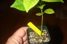 Giant-granadilla-plant