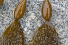 Closer-view-of-Giant-Kelp