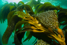 Giant-Kelp-Plant