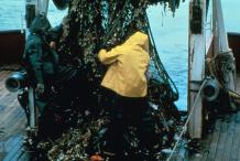 Giant-Kelp-harvesting