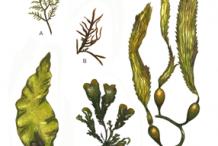 Plant-Illustration-of-Giant-Kelp