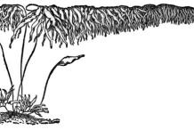 Sketch-of-Giant-kelp