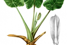 Giant-Taro-plant-illustration