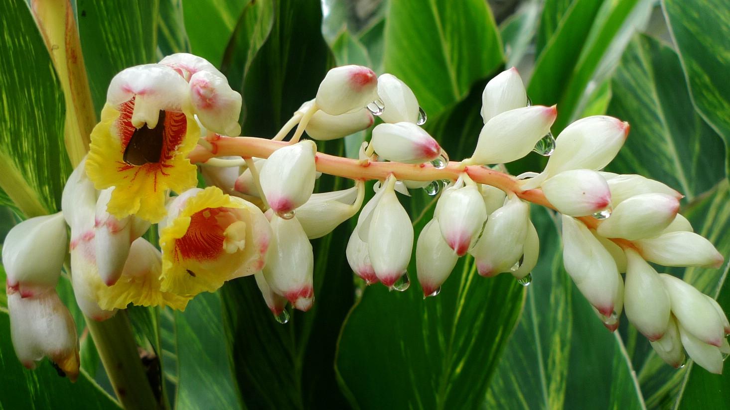 Flower-of-Ginger