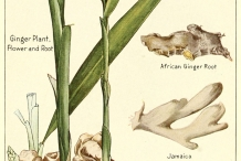 Plant-illustration-of-Ginger