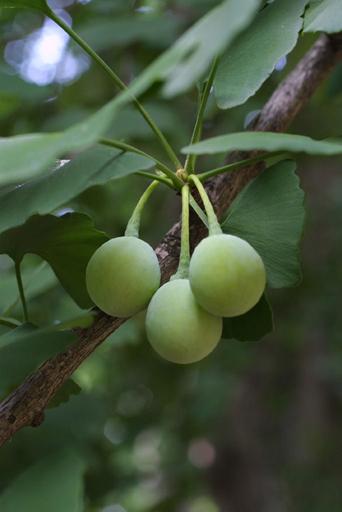 Ginkgo-biloba-cone-female