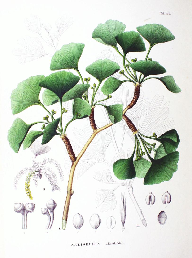 Ginkgo-biloba-illustration