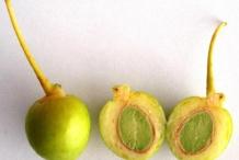 Ginkgo-biloba-fruit-cut