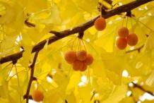 Ginkgo-biloba-fruit
