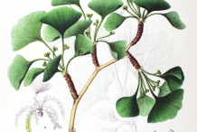 Ginkgo-biloba-illustration