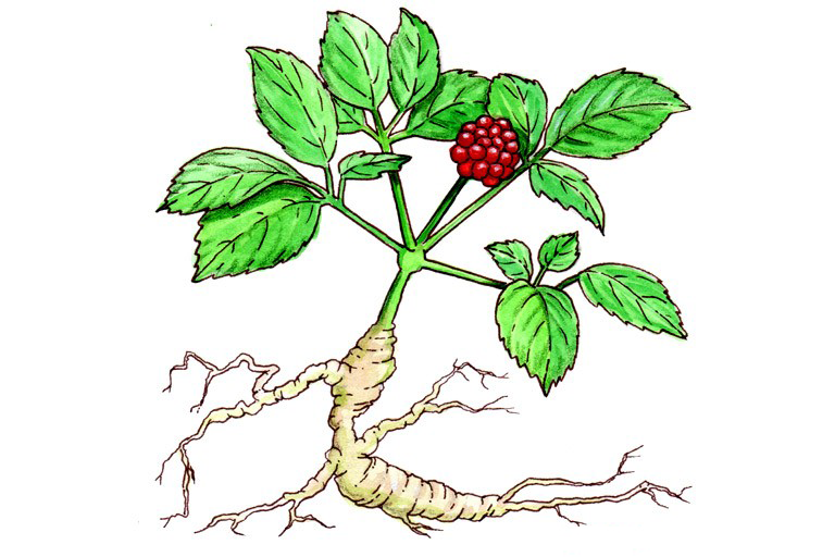 Ginseng-plant-drawing