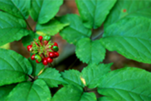 Ginseng-Fruit