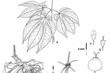 Ginseng-plant-Illustration