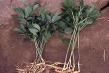 Whole-Ginseng-plant