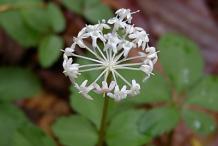 Ginseng-Flower