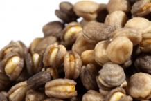 Ginseng-Seeds