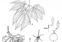 Ginseng-plant-Illustration