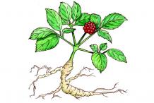 Ginseng-plant-drawing