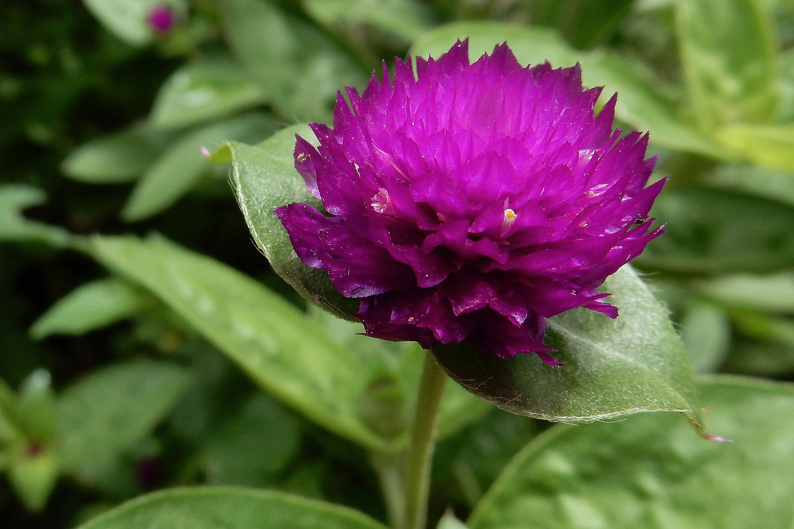 Flower-of-Globe-Amaranth