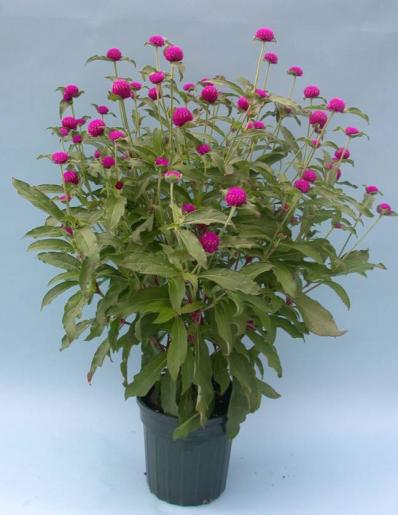 Globe-Amaranth-plant-grown-on-the-pot