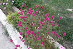 Globe-Amaranth-Plant