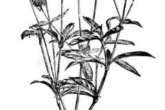 Sketch-of-Globe-Amaranth