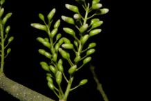 Flowering-buds-of-Glory-Cedar-plant