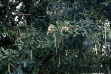 Glory-Cedar-fruit-on-the-tree
