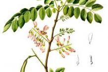 Plant-Illustration-of-Glory-Cedar-plant