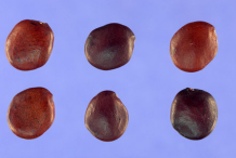 Seeds-of-Glory-Cedar