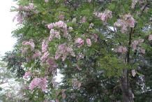 Glory-Cedar-plant