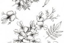 Sketch-of-Glory-Cedar-plant