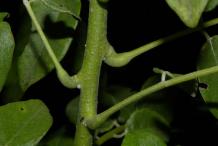 Stem-of-Glory-Cedar-plant