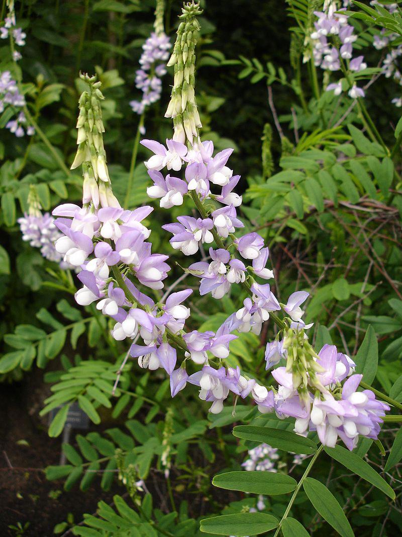 Flower-of-Goats-Rue