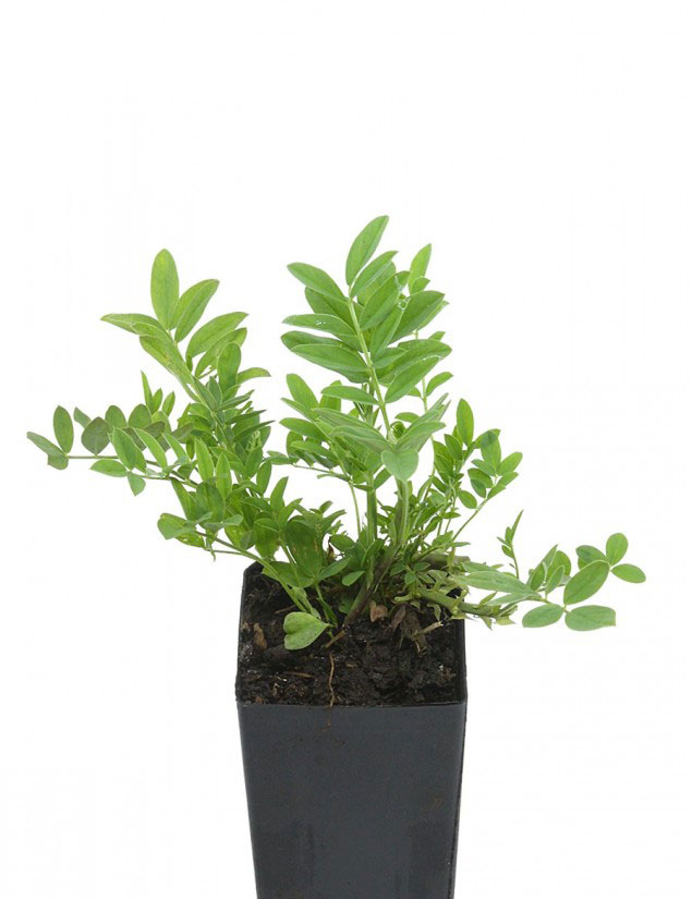Goats-Rue-plant-grown-on-the-pot