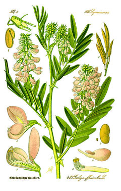 Plant-Illustration-of-Goats-Rue