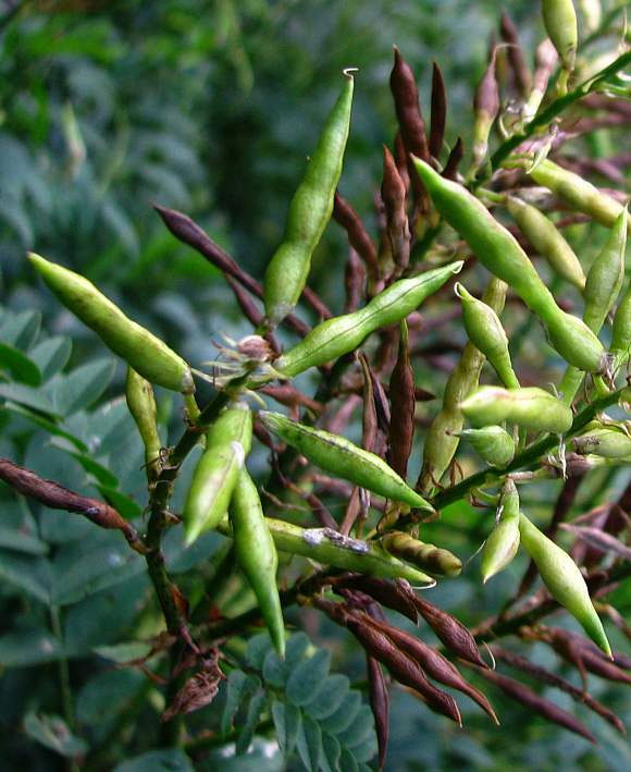 Seed-pods-of-Goats-Rue