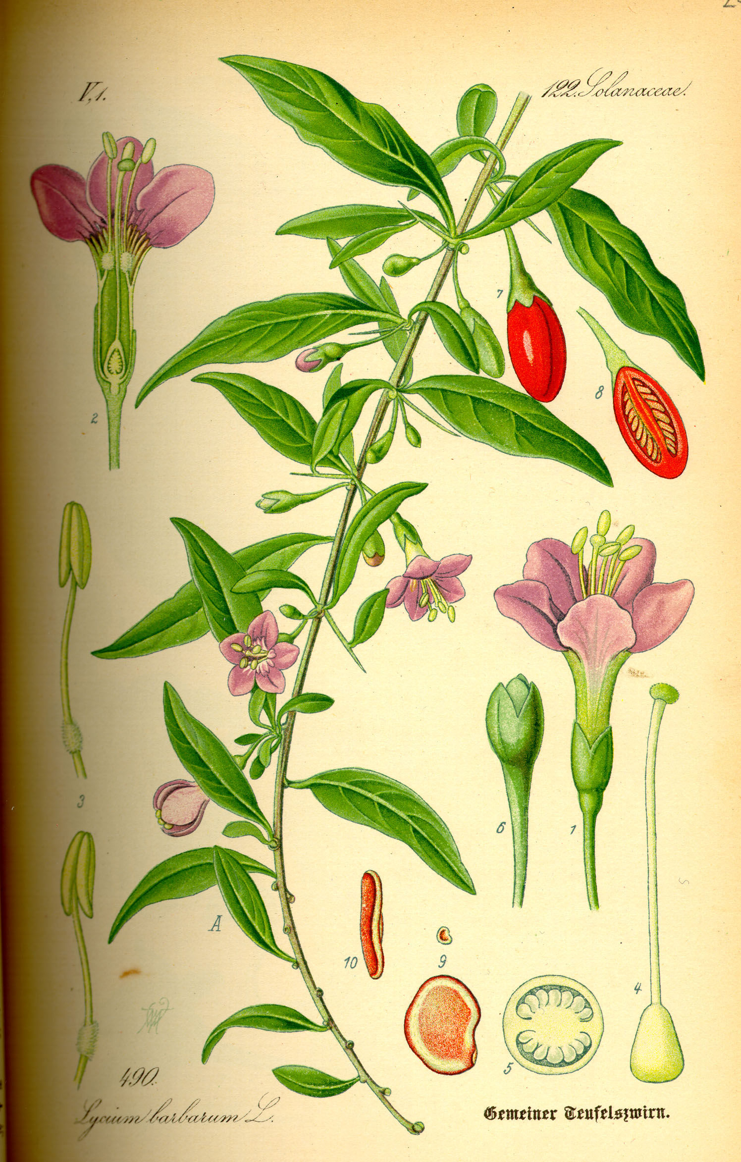 Illustration-of-Goji-berry