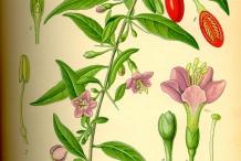 Illustration-of-Goji-berry
